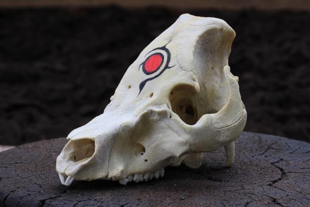 豚の頭骨標本